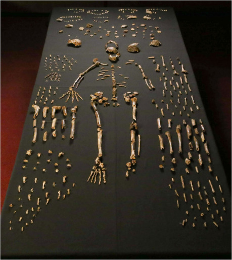 "Lee Roger Berger research team, <a href=""https://creativecommons.org/licenses/by/4.0/deed.en"">cc by 4.0</a> 			(Zdroj: <a href=""https://commons.wikimedia.org/wiki/File:Homo_naledi_skeletal_specimens.jpg"">Wikimedia Commons</a>)"
